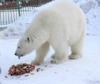 """В """"Роевом ручье"""" красноярские моржи поздравили белых медведей Аврору и Феликса"""